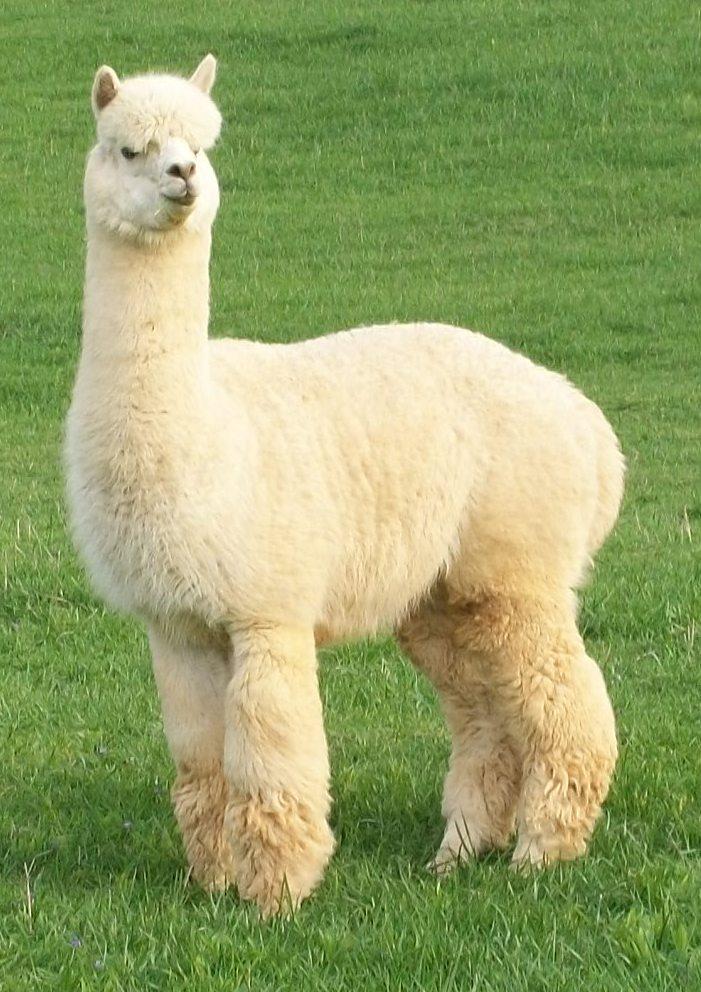 New Alpaca Cria Becket Born June 23