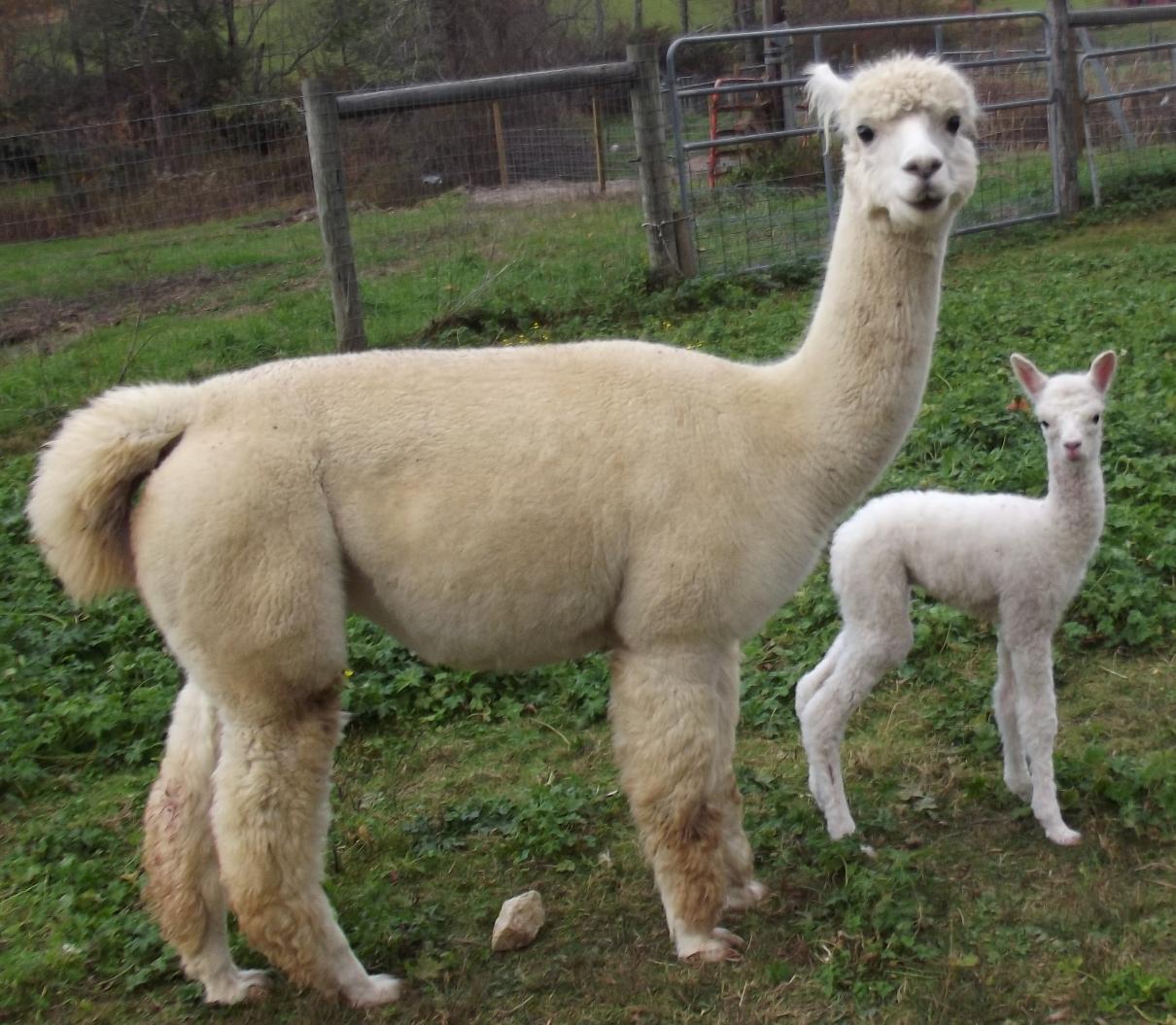 It's A(nother) Boy! New alpaca cria