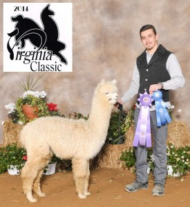 Champion Female Alpaca for sale
