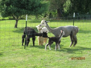 Williams- The Herd gets acquainted