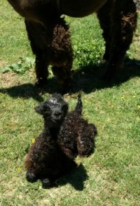 Alpaca cria at birth