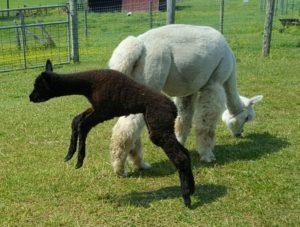 Alpaca cria leaping