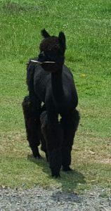 Alpaca Playing