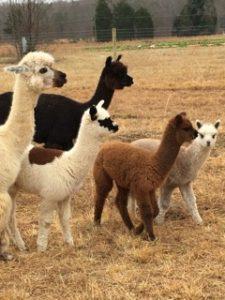renee-alpacas